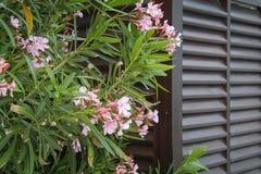 Oleanderbloemen Stock Foto's