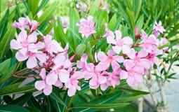 Oleanderblommor Arkivfoton