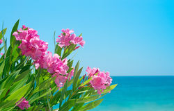 Oleanderblommor och hav Arkivfoto