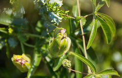 Oleanderblumenknospe Burgunder nah an der Zypresse im Garten Stockfotografie