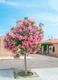 Oleanderboom Stock Afbeelding