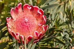 Oleanderleaf protea flower head in bloom Royalty Free Stock Image