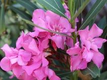 Oleanderrosa Stockfoto