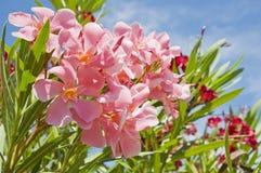 Oleanderrosa und -ROT Stockbild