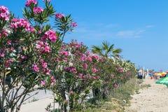 Oleanders on the beach Royalty Free Stock Photos