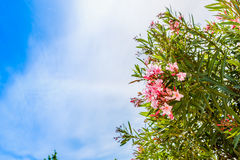 Oleanders and blue sea in Sardinia Royalty Free Stock Photography