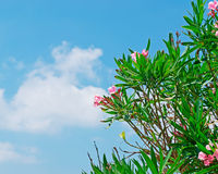 Oleanders and blue sky Stock Images