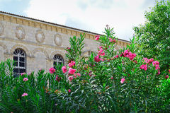 Oleanders in front of Faneromenis Church. Greece Stock Photography