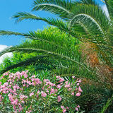 Oleanders and palm Royalty Free Stock Photography