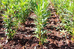 Oleanders planted in rows Stock Photo