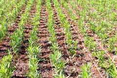 Oleanders planted in rows. With drip irrigation Royalty Free Stock Photography