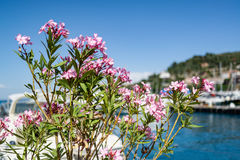 Oleanders on the waterside Royalty Free Stock Photography