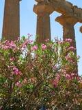 Oleanderträd nära templet av Juno i Agrigento Arkivbild