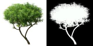 Oleanderträd som isoleras på vit med maskeringen för alfabetisk kanal arkivbilder