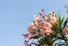 Oleanderu menchii kwiat Zdjęcia Royalty Free