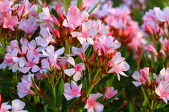 Oleanderväxter Fotografering för Bildbyråer