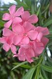 Oleandes roses L de Nerium Fleur images stock