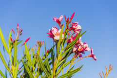 Oleandri rosa in Sardegna Italia immagine stock