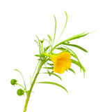 Oleandro amarelo Imagens de Stock Royalty Free