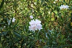 Oleandro bianco fotografie stock