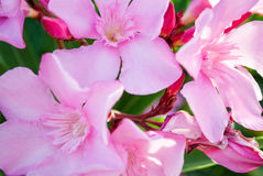 Oleandro cor-de-rosa Fotografia de Stock Royalty Free