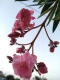 Oleandro cor-de-rosa com fundo do céu e borrado Imagem de Stock Royalty Free