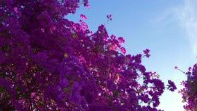 Oleandro de florescência com as flores roxas cor-de-rosa no fundo do céu azul vídeos de arquivo