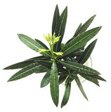 Oleandro di bianco del Nerium della pianta Fotografie Stock