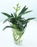 Oleandro do branco do Nerium da planta Fotografia de Stock Royalty Free