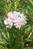 Oleandro do Nerium imagem de stock