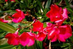 Oleandro do Nerium que floresce no vermelho imagens de stock royalty free