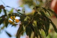 Oleandro giallo di thevetia di Cascabela di peruviana di Thevetia Fotografia Stock