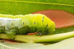 Oleandro Hawk Moth Caterpillar Fotografia de Stock