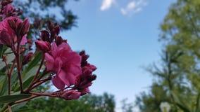 Oleandro & o céu azul Imagem de Stock Royalty Free
