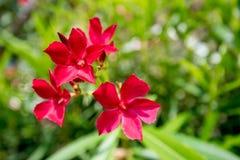 Oleandro o Nerium rosso Fotografia Stock Libera da Diritti