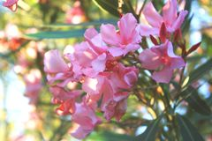 Oleandro rosa fotografie stock