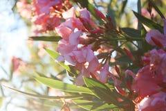 Oleandro rosa immagini stock
