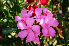 Oleandro rosa immagine stock