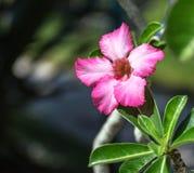 Oleandro rosa, Nerium Fotografia Stock Libera da Diritti