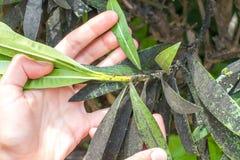 Oleandrowa korówka uderzająca Roślina insekta infestation Zdjęcie Stock