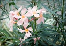Oleandrowi kwiaty Obrazy Royalty Free
