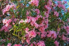 Oleandrowi kwiaty Zdjęcie Stock