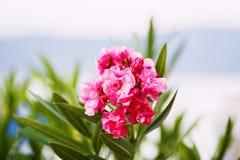 Oleandrowy krzak, menchii róża kwitnie z liśćmi Fotografia Stock