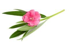 Oleandrowy kwiat Fotografia Royalty Free
