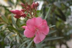 Oleandrowy kwiat obraz royalty free