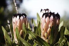 Oleandrowy liścia Protea protea neriifolia Kwitnie W Pełnym kwiacie obraz royalty free