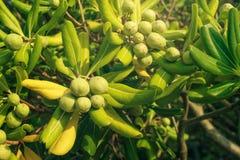 Oleaster krzak z oliwką lubi owoc Obraz Stock