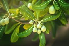 Oleasterbuske med oliv som frukt royaltyfri bild