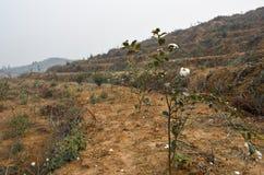 oleifera山茶花的基地  库存图片