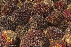 Olejów Palmowy ziarna, energia odnawialna Fotografia Stock
